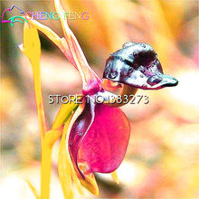 50 Pieces / Lot Flying Duck Orchid bonsai Rare Plant Black Orchid bonsai Garden Plants Potted Home Flowers bonsai Free Shipping(China)