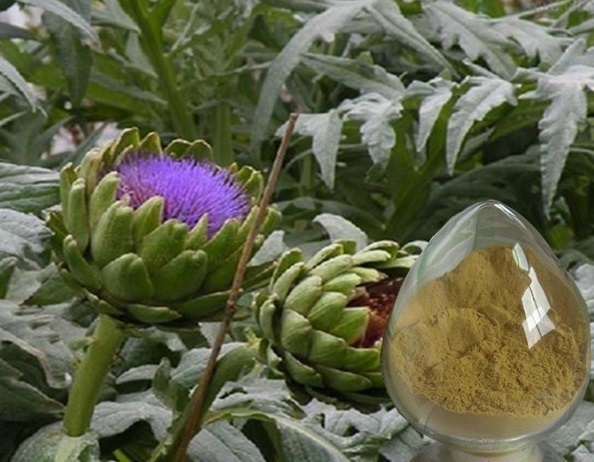 100% Nature Artichoke Extract / Cynara scolymus extract powder