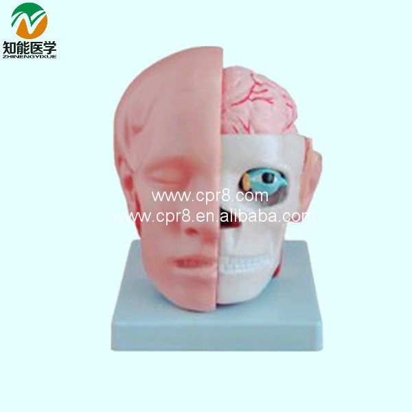 Plastic Human Head Model (Medical Artery Anatomical Model) BIX-A1042 WBW424 plastic standing human skeleton life size for horror hunted house halloween decoration