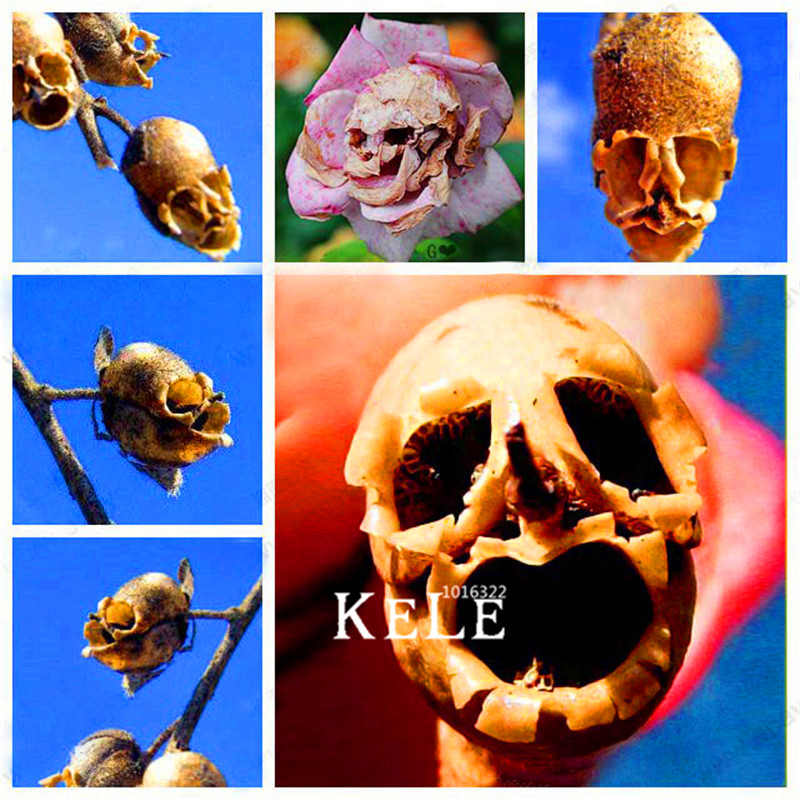 Loss Promotion 100 Pcs Bag The Death Rose seeds rare and mysterious plant species of font