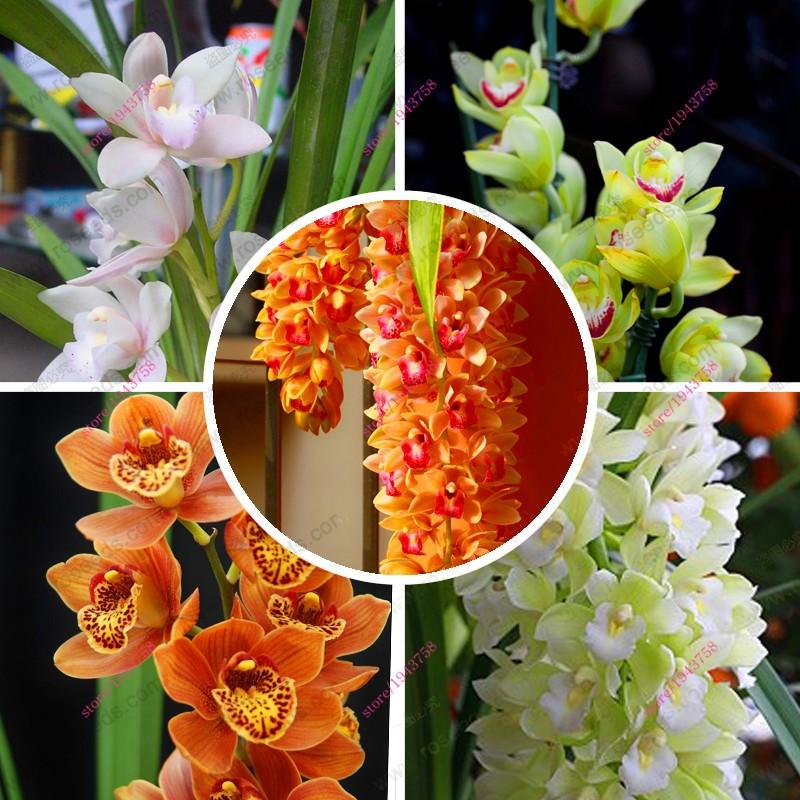 100-PCS-Chinese-Cymbidium-Orchid-plants-Seeds-Indoor-orchid-pot-Flowers-Seeds-Cicada-Orchid-Seeds