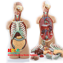 85 cm disassembly of 17 parts of asexual human trunk visceral anatomical model MQG201 for teaching liver, intestine and stomach