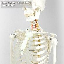 T CMAM/12361 170 skeleton, white, Medical Full Skeleton Anatomical Human Model