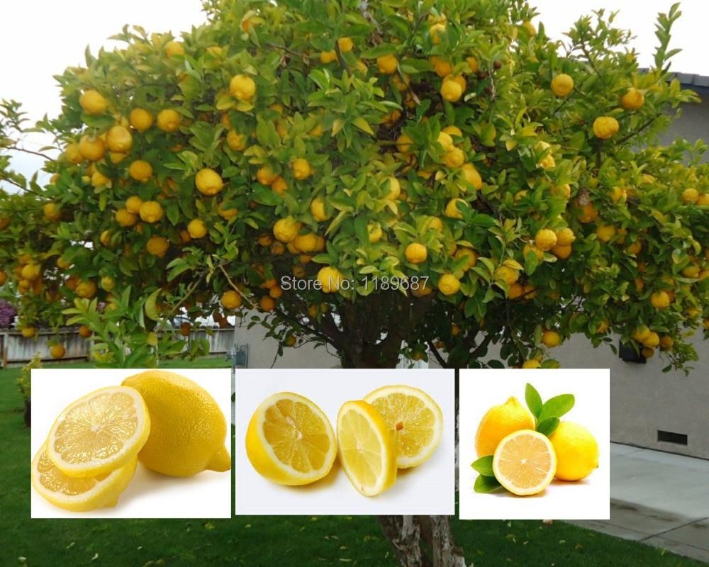 Popular mini lemon tree buy cheap mini lemon tree lots for Buy lemon seeds online