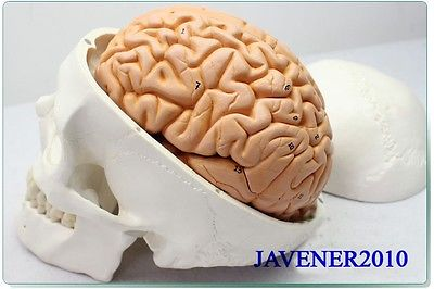 1:1 Life Size Brain Skull Human Anatomical Anatomy Head Medical Model