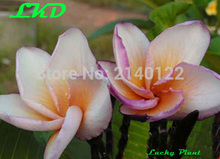 7-15inch Rooted Plumeria Plant Thailand Rare Real Frangipani Plants no267-sonic-wave