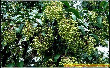 1000g 10:1 Glossy Privet Fruit Extract fructus ligustri lucidi extrato Ligustrum lucidum Ait extrato Ligustrum Lucidum Extrato
