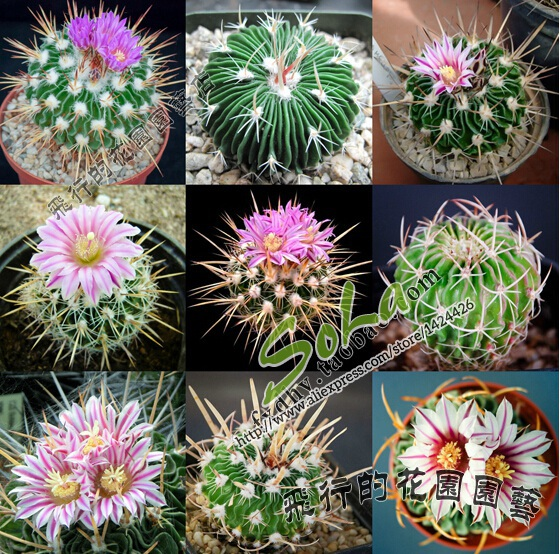 Mix One Pack 20 Seeds Of Mini Cactus Plants Flowering