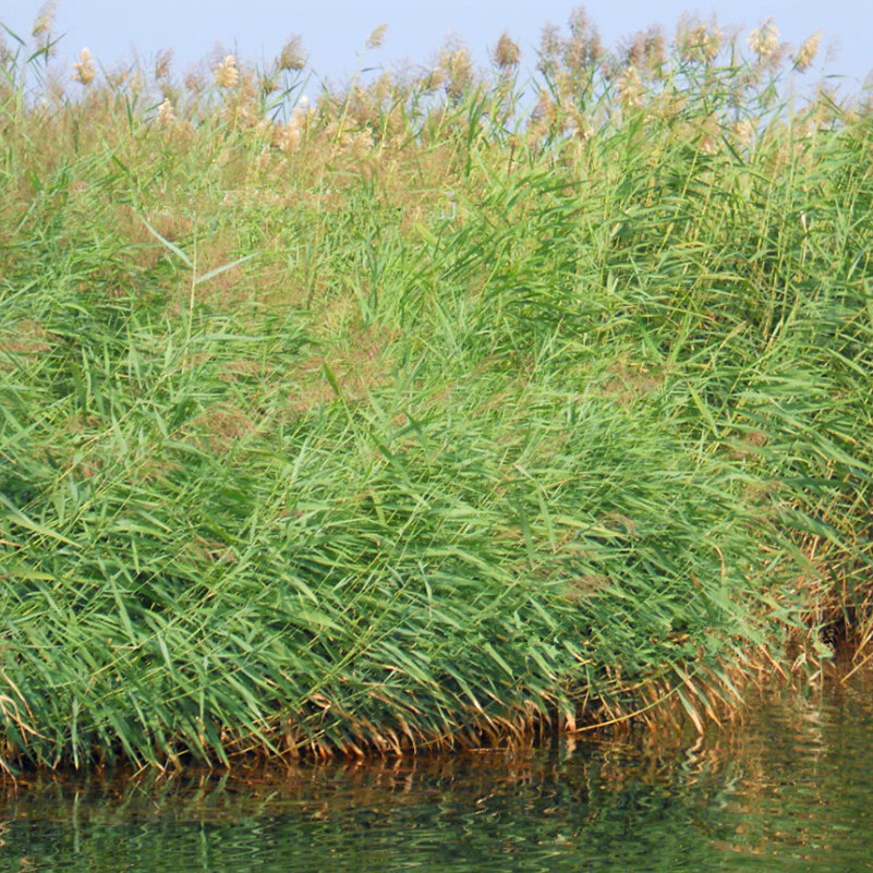 Popular reed plant buy cheap reed plant lots from china for Cheap pond plants