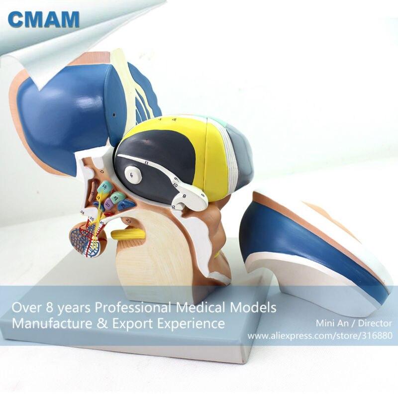 CMAM BRAIN13 3x Ampliar Tamaño Natural 4 Piezas Modelo Diencéfalo ...