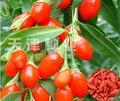 2016 Новый 200 шт. Китай Высшего Качества Большие семена ягоды годжи ягоды годжи семена годжи семян Бесплатная Доставка