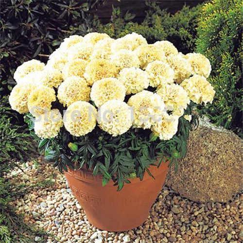 Grande promoção! Rare Bonsai Planta 200 pcs marigold crisântemo Flor crisântemo bonsai Plantas quatro Estações Jardim Do Pátio