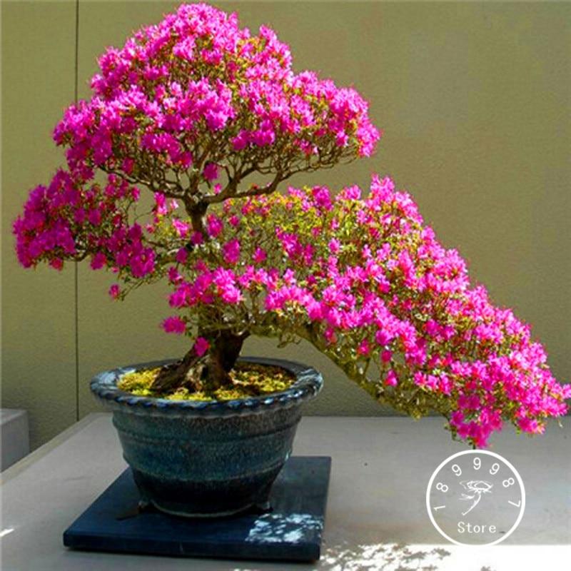 Потери Акция! 10 шт./пакет Сакура завод Азалия Флорес многолетний цветок растения для сада в бонсай