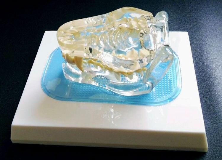 Modèle animal Transparent de dent de chien modèle d'animal familier d'os canin enseignement vétérinaire achats gratuits