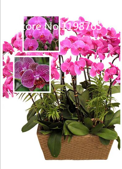 Promotion 1000 phalaenopsis orchid seeds 10 kinds tropical flower 1000 phalaenopsis orchid seeds 10 kinds tropical flower seeds diy garden perennial flowers plant seeds bonsai garden in bonsai from home garden on mightylinksfo