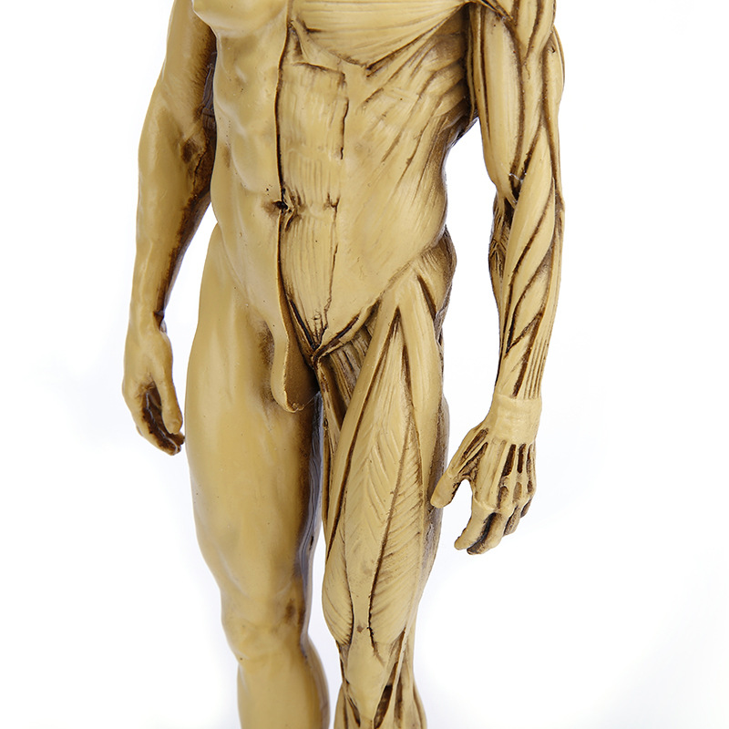 Human body model otoko medical teaching creative resin artware human human body model otoko medical teaching creative resin artware human body dissection house and home furnishings gift lk803 in action toy figures from toys publicscrutiny Images