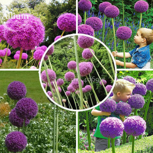 Herilloom Allium Giganteum Giant Onion With Purple Flowers 20 Seeds Very Beautiful Mosquito