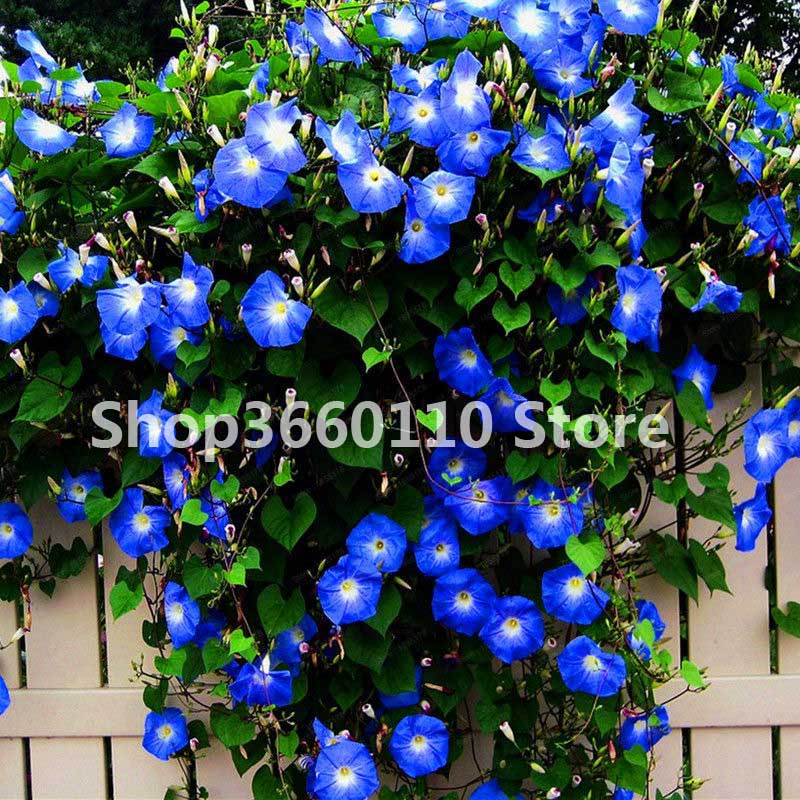 30PCS/PACK Morning Glory Flower flores, perennial garden flowers,easy to grow,bonsai plant for home and courtyard