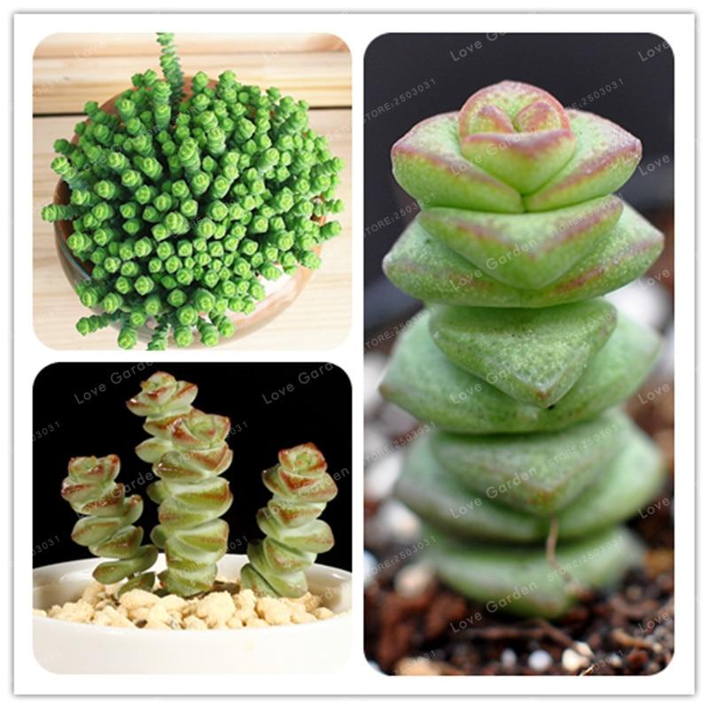 100 pcs Rare Colorful Succulent Plant Crassuia Perforata Seeds Perennial Bonsai Plant For Home Garden