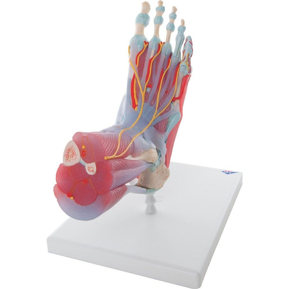 Buy Foot Ligaments Model And Get Free Shipping On Aliexpress