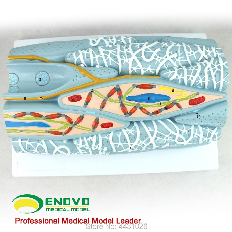 ENOVO The model of muscle tissue of smooth muscle tissue model of human muscle model cnc foldable