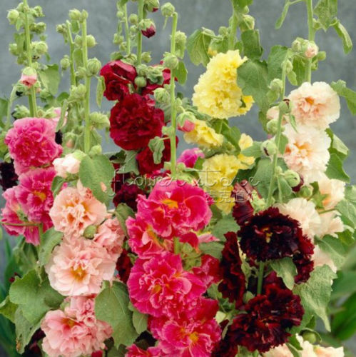 Hollyhock Colors: 20Mixed Colors HOLLYHOCK COUNTRY ROMANCE MIX Alcea Rosea