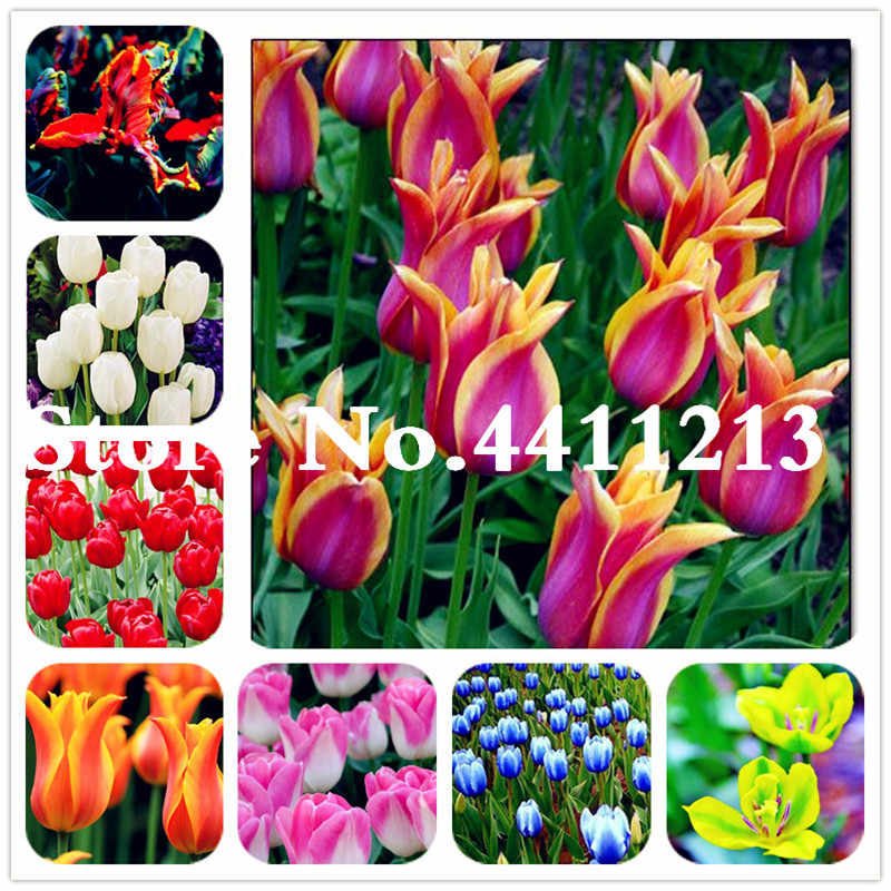 50Pcs Dutch Tulip Flower Mix Color Bonsai tulip flower Bonsai perennial blooming potted plant for home garden courtyard planting
