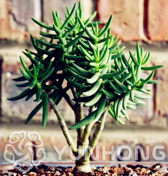 HOT SALE Rare Crassula Tetragona Flower 100pcs Rare Flower Crassula  Tetragona bonsai Free shipping For Garden & Home Plants
