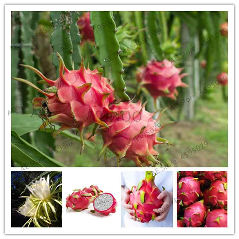 ! 500 Pcs Merah Import Pitaya Jepang Juicy Non GMO Tanaman Bonsai Buah Naga Taman Rumah Pot DIY Suculentas Raras