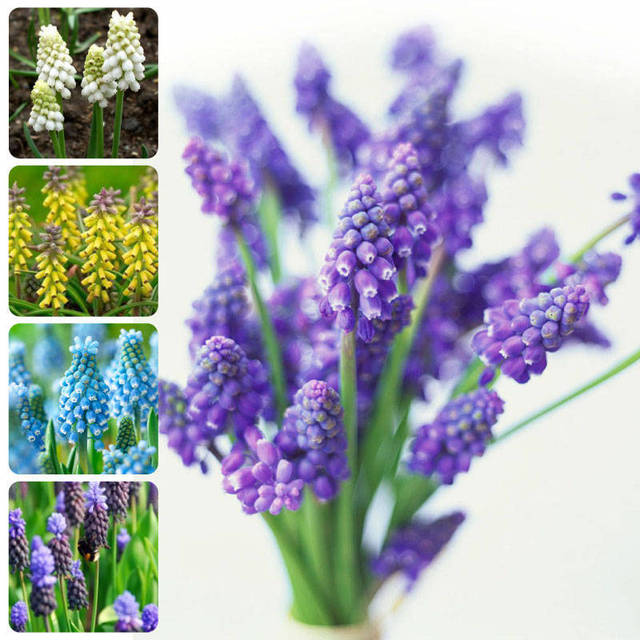 grape hyacinths seeds, free shipping cheap perfume, mixing different varieties - 20 years hyacinth rubber seeds