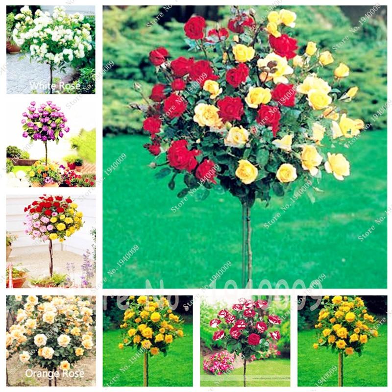 300 шт. микс-цвет розовое дерево рассада редкая роза цветок бонсай для дома садовое насаждение горшках, балкон и двор Цветок bonsais planta