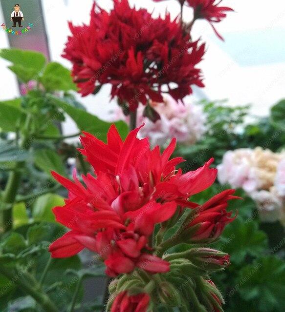 50 pz Gigante Rossa Grandi Fiori di Geranio Fiori Pianta Rara Heirloom Giardino Fiori Ornamentali