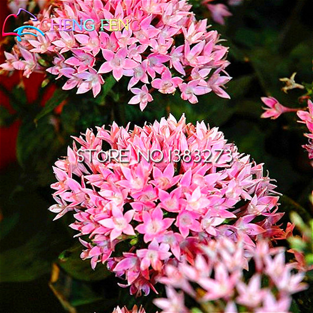 Pentas Seeds 100pcs Lot Mini Garden Novel Plants Bonsai Flower