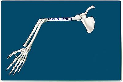 Life Size Human Anatomical Anatomy Arm Upper Limb Skeleton Medical Model