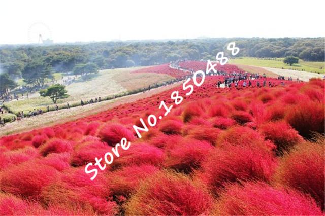 Grass plants Perennial 1000pcs Grass Burning Bush Kochia Scoparia plants Red Garden Ornamental easy grow bonsai plant for garden