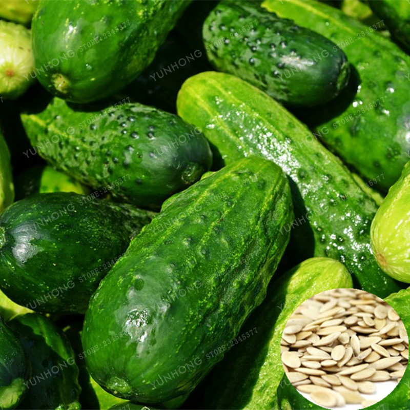 20PCS Cucumber Seeds Japanese Mini Cucumber Fruit and Vegetable Seeds Organic NO GMO seeds for Home Garden Planting