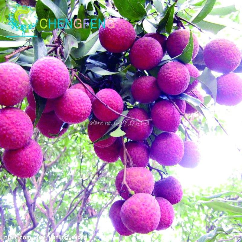 Succulent Plants Lychee Lychy Litchi Seeds Leechee Fruit ... Leeches Fruit Tree