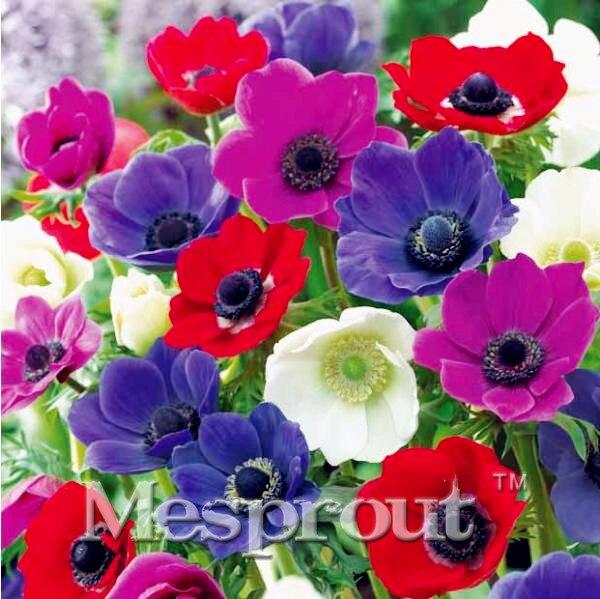 Violet Pasque Flower Seeds Plants Bonsai Color Amazing Rare 100pcs//lot