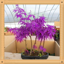 "10PCS Purple Maple Seeds Rare in The World Canada is a Beautiful Purple Maple Bonsai Plants Trees ""Purple Ghost""(China)"