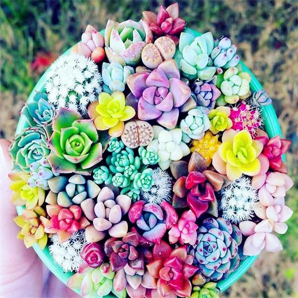 2000 Rare Mix Lithops Flores Living Stones Succulent Cactus Organic Garden Bulk Plante,bonsai Plantas For Indoor Succulent Plant