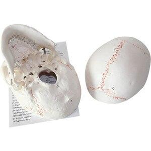 Image 5 - 1:1 a Grandezza naturale Del Cranio Modello di Modello di Cranio Umano Medicina Cranio Umano Anatomia Anatomico Testa Studiare Anatomia Insegnamento Forniture