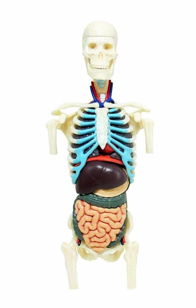 Nett Erlernen Der Herzanatomie Bilder - Anatomie Von Menschlichen ...