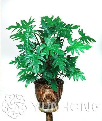 100% genuino raro 100 piezas 10 tipos mezcla Philodendron bonsai, hoja de vid, plantas de interior Anti radiación absorbe el polvo planta de árbol