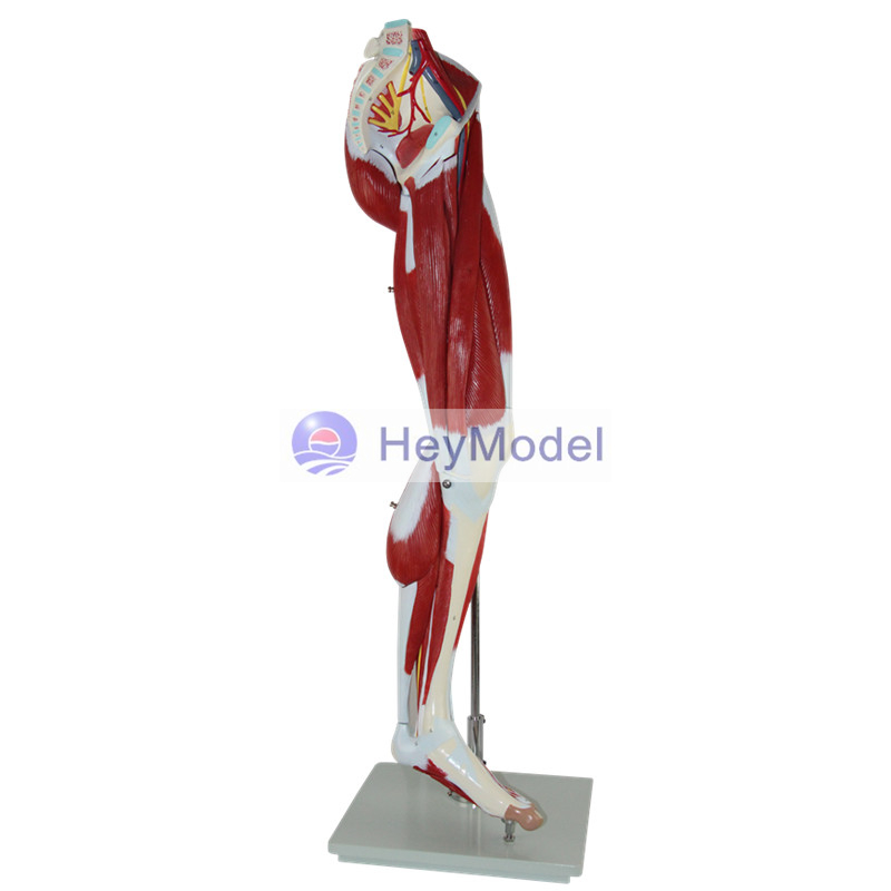 HeyModel Lower extremity muscle with the main vascular modelHeyModel Lower extremity muscle with the main vascular model