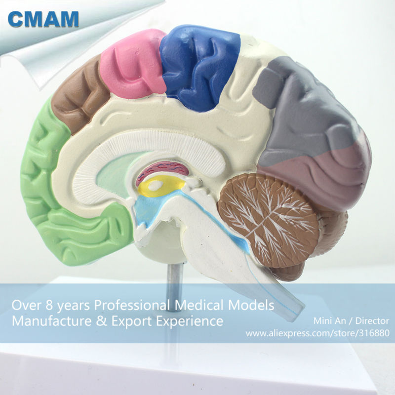 12407 CMAM-BRAIN09 Human Model of Functional Brain, Anatomy Models > Brain Models
