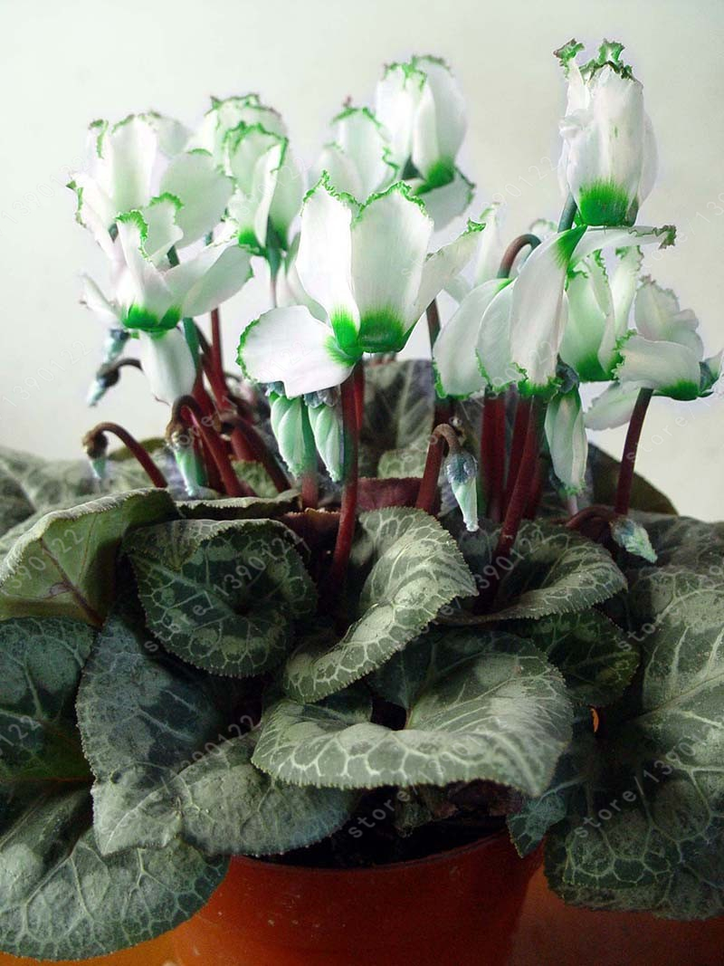 10pcs/bag cyclamen flower cyclamen seeds beautiful bonsai flower seeds,5 colours,Natural growth, cyclamen plants for home garden