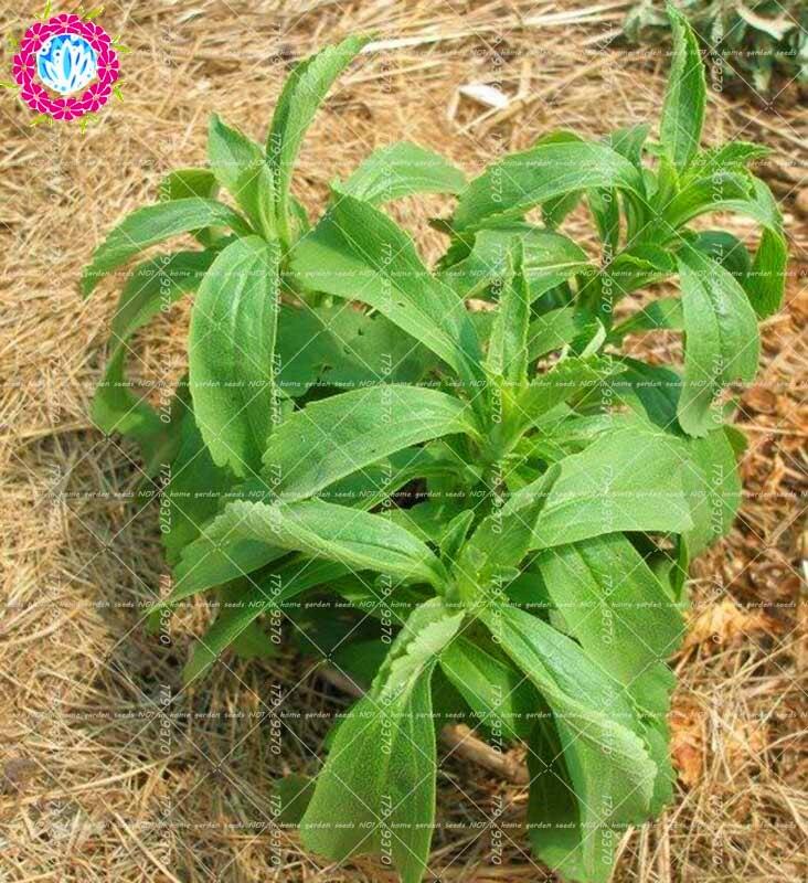 500 stk stevia bonsai stevia greens stevia rebaudiana semillas bonsai plante til haven høj sødme naturlige søde