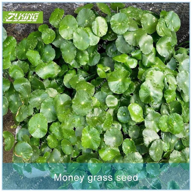 ZLKING 100 деньги трава дербенника трава растения бонсай для дома и сада многолетнее Сверхъестественное продукты очистки воздуха