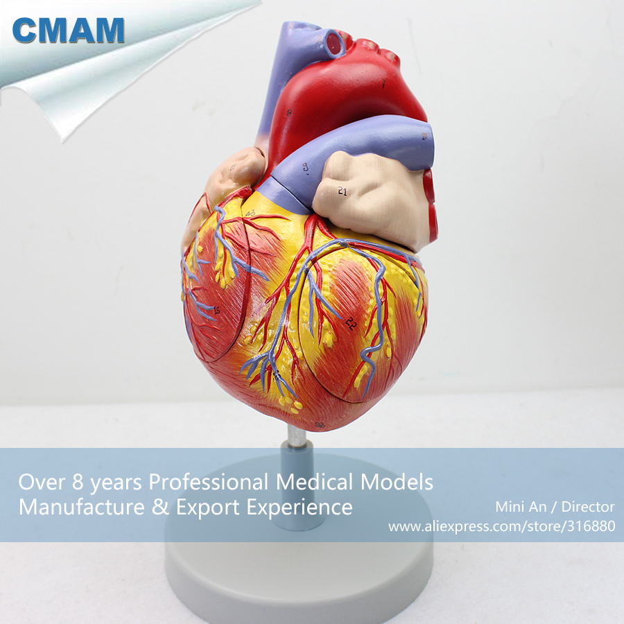 12480 CMAM-HEART04 Numbered 2x Life Size Human Heart Anatomy Model w/ 4 Parts, Medical Science Teaching Anatomical Models