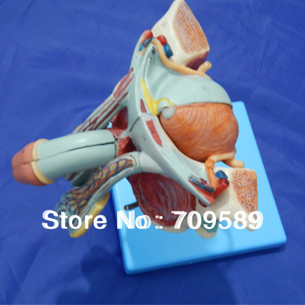 Deluxe Male Genital Organs model, Anatomy Genitals model